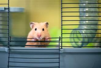 黃金鼠掛螢幕邊緣掙扎主人卻不救 揭實情眾人驚呆
