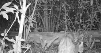 八甲茶園有石虎 草生栽培「貓裏紅」與生態共存