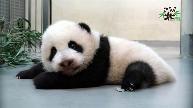 大貓熊媽媽「圓圓」每天會用舌頭舔舐「圓寶」幫牠擦澡(圖/臺北市立動物園提供)