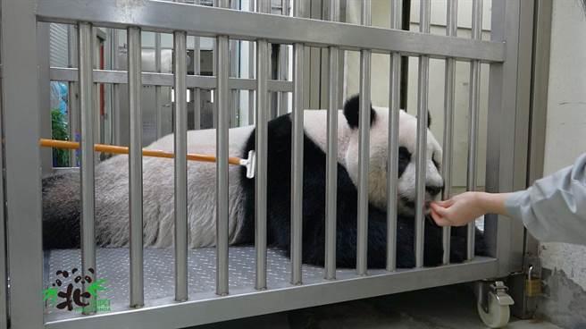 圓仔被保育員刷毛中,表情看起來很舒服(圖/臺北市立動物園提供)