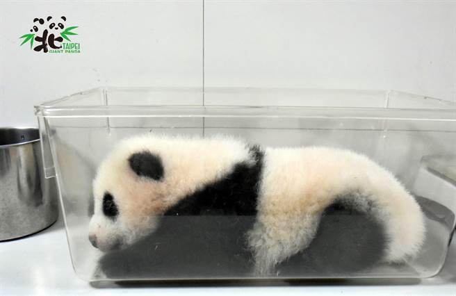 圓寶被裝進塑膠盒中準備量體重,模樣非常可愛(圖/臺北市立動物園提供)