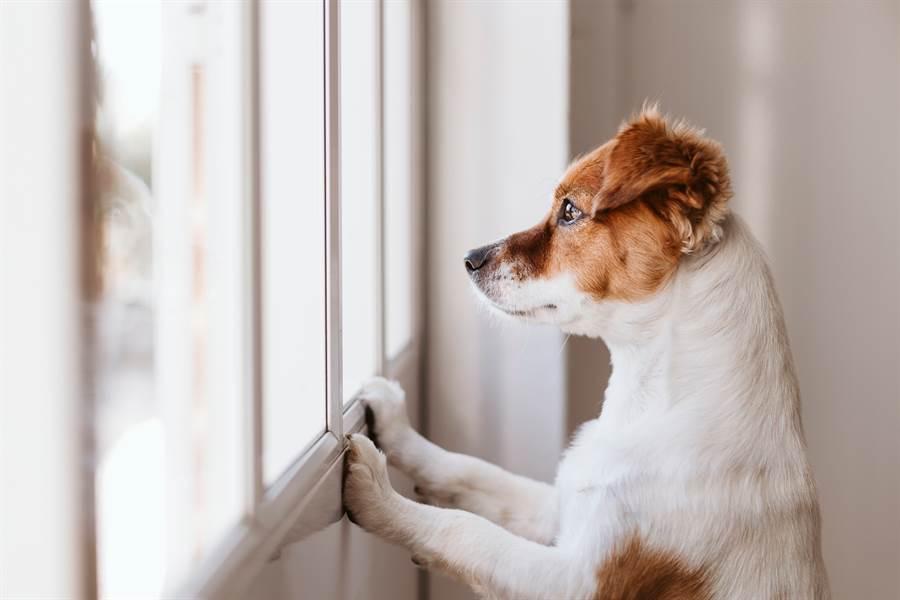 德國牧羊犬未看到主人回來,牠失落的守在門口(示意圖/達志影像)