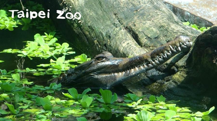 顛覆鱷魚兇猛印象 馬來長吻鱷超害羞 聽到放飯噗通躲水裡(圖/臺北市立動物園提供)