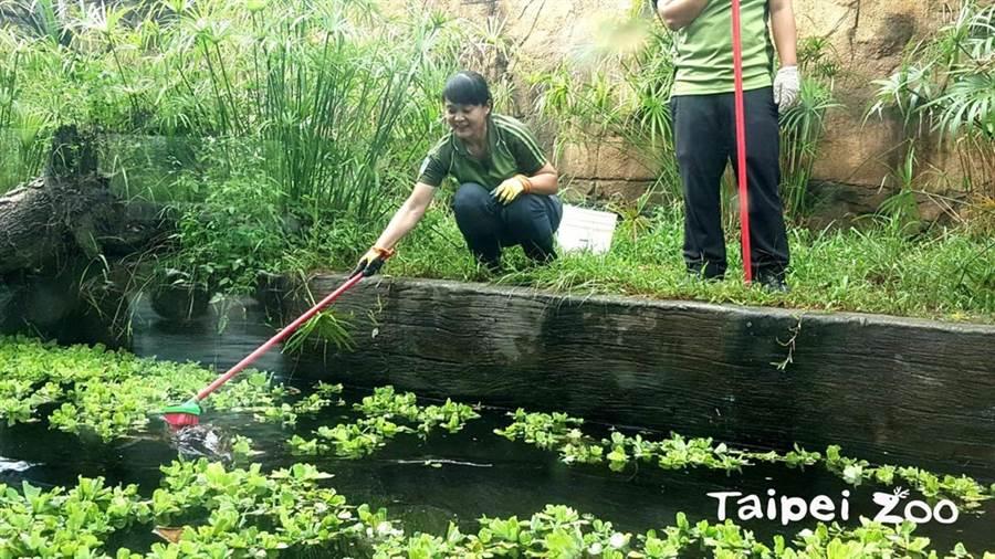 保育員幫馬來長吻鱷刷背按摩!(圖/臺北市立動物園提供)