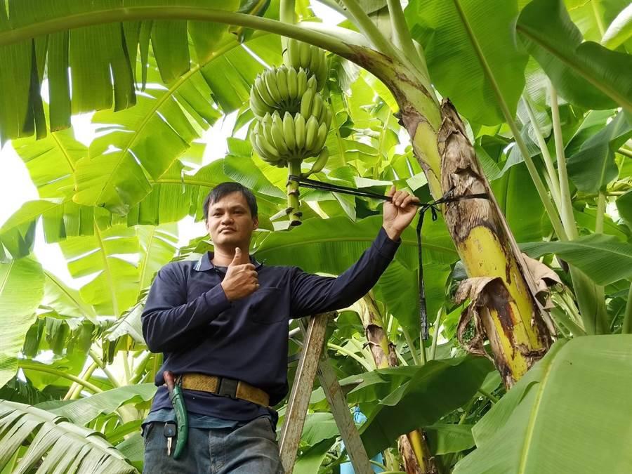 農二代朱恩賜種出好品質的芭蕉,今年9月1日送到台北拍賣市場1公斤賣到160元,讓他覺得非常有成就。(林雅惠攝)