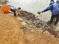 琵琶鼠魚氾濫 養殖漁業浩劫