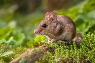 老鼠連2天闖入偷嗑大麻葉「嗨到翻肚」 逃不了被抓去勒戒