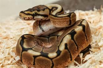 球蟒禁慾15年突產下7顆蛋 保育員驚呼不尋常