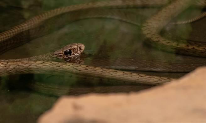 蛇垂掛岸邊抓魚反被吞頭 下秒同伙亂入神展開(示意圖/達志影像)