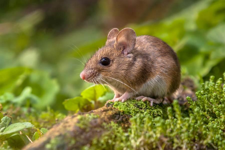 小老鼠連2天來偷吃大麻葉,沒想到整隻嗨到翻肚(示意圖/達志影像)