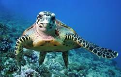 游到一半遭攝影師偷拍 海龜暴怒「比中指」