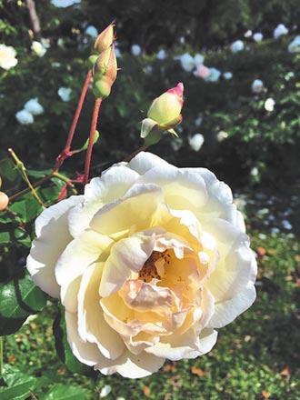 台北玫瑰園尋繆思 走進張愛玲的文學世界