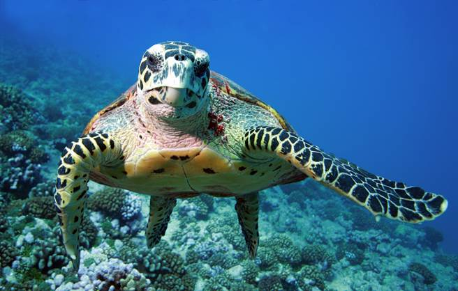 游到一半遭攝影師偷拍 海龜爆怒「比中指」(示意圖/達志影像)