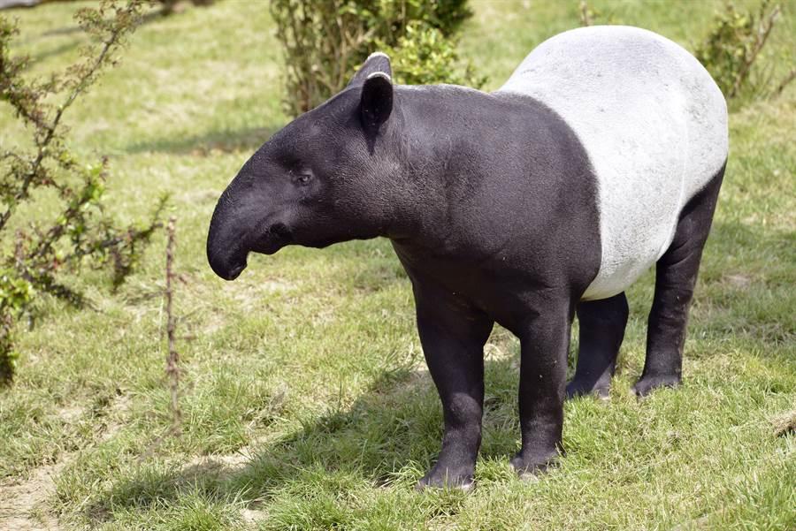 動物園羞見馬來貘胯下「第5隻腿」 超巨尺寸路人傻了(示意圖/達志影像)