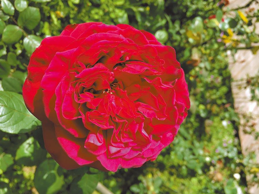 熱情奔放鮮豔的「皇家胭脂‧古典胭脂」展現獨一無二的風情。(臺北市政府工務局公園路燈工程管理處提供)