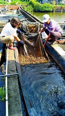 佳冬螯蝦場確診蝦疫 銷毀逾7000台斤成蝦