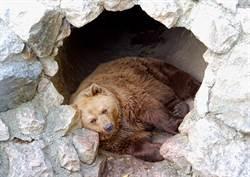 凍土挖出4萬年前穴熊母子 「微笑睡臉」震驚科學家