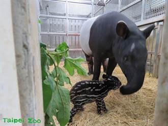北市動物園喜迎馬來貘寶寶 網一看不單純:麝香豬?