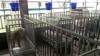 畜試所推台灣豬新飼料策略 照常生長更環保