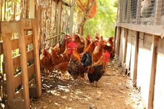 減用除草劑 竹市養雞除草還年產1萬顆有機蛋