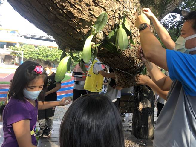同安國小學童們在今天午後合力將1000棵蝴蝶蘭苗悉心移植固定於校園內的大樹樹幹上。(謝瓊雲攝)