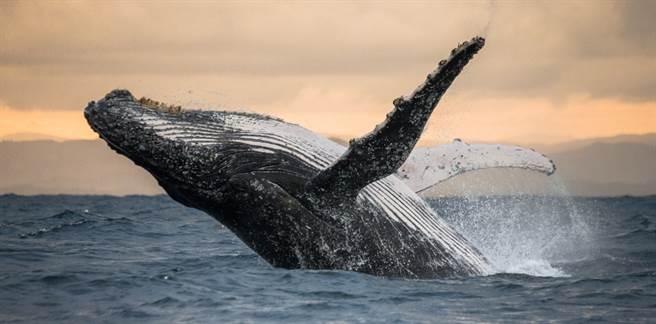 就怕被吃掉!座頭鯨誤入「鱷魚河」 專家急壞了(示意圖/達志影像)