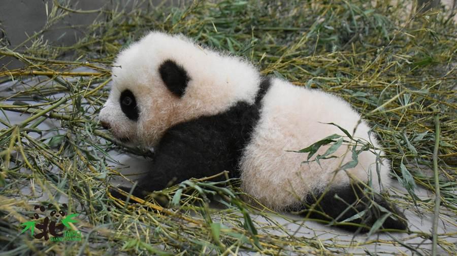 大貓熊寶寶「圓寶」的活動力比起之前稍有提升(圖/臺北市立動物園提供)