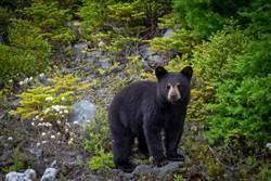 泳池旁午睡突被喚醒 見黑熊伸毛掌輕撫秒嚇歪