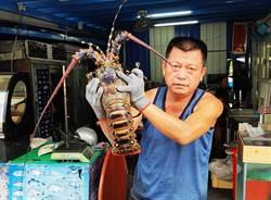 放生抱卵龍蝦媽媽 海產店老闆阿汶好樣的