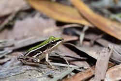 楊梅生態埤塘復育順利 台北赤蛙數穩定成長