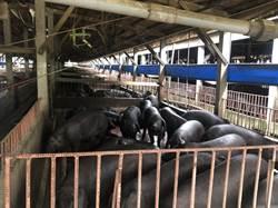 全台首家黑毛豬沼氣發電廠 供電又降低環境傷害