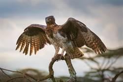 巨蜥被捕猛擺尾求生 老鷹啄眼拉扯畫面太殘忍