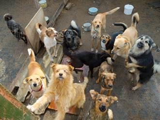 人類跨圍欄糗摔跤 狗群瞬間飛奔興奮圍觀「湊熱鬧」