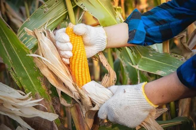 受到颱風影響,大陸玉米期貨價格飆至6年新高。(示意圖/達志影像)