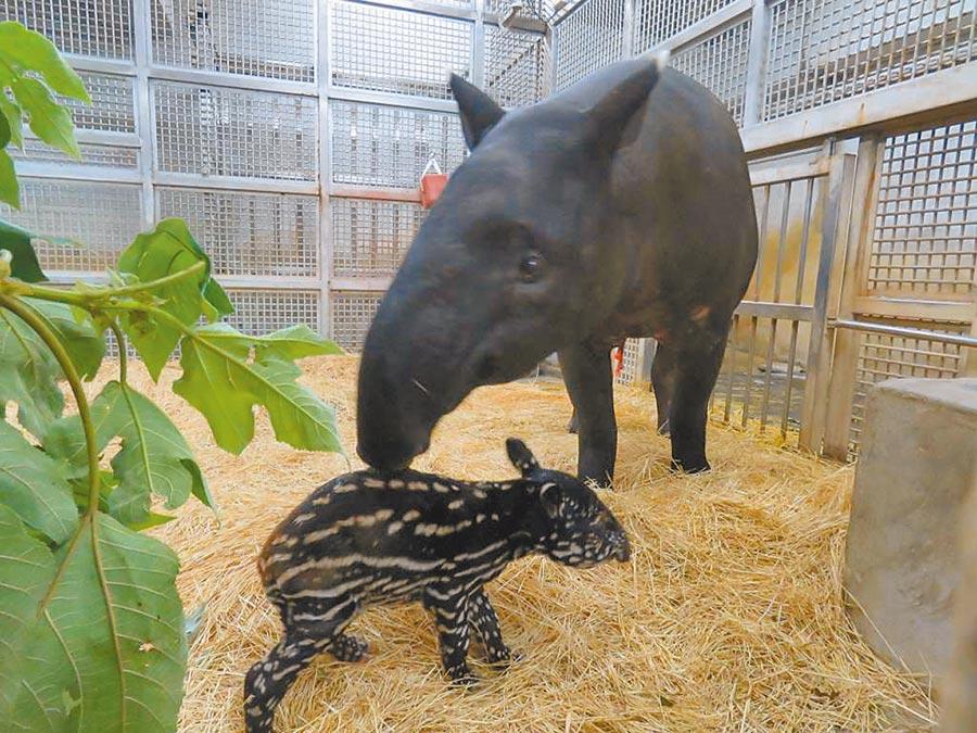 馬來貘「貘芳」首度懷胎,在13日順利產下一隻男寶寶,體重為5.1公斤,新生寶寶外觀為黑白斑點色,約在2個月後才會開始慢慢轉變。(台北市立動物園提供/游念育台北傳真)