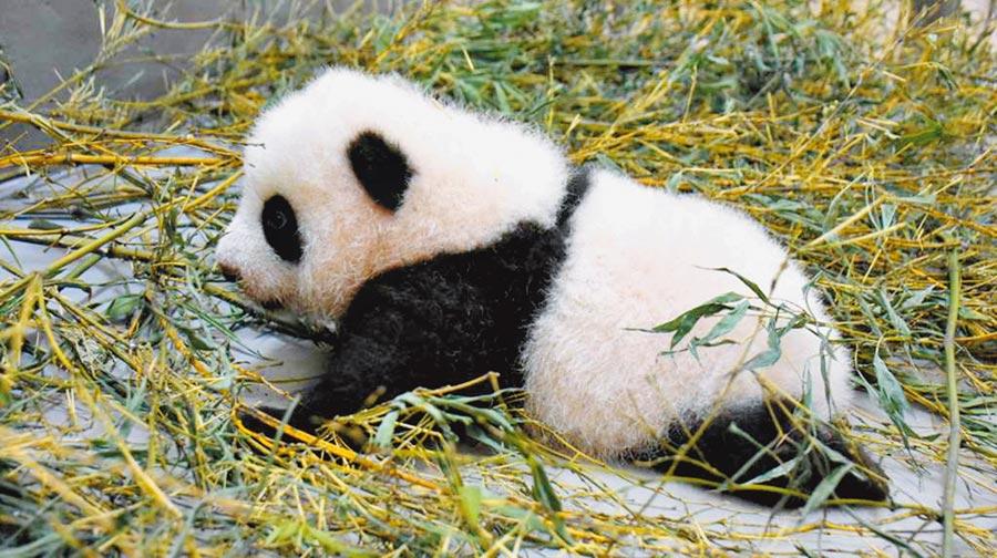 動物園大貓熊「圓寶」開始會緩緩向前划行,但「電量」非常低,常常瞬間「斷電」睡著。(台北市立動物園提供/游念育台北傳真)