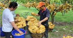 ECFA滿10年變數多 台灣剉咧等!農民嗆:到大陸去種