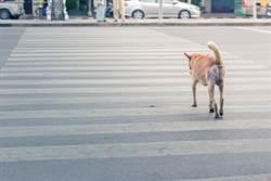 狗狗有色盲為什麼會看紅綠燈?網揭關鍵原因