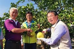 量少味美又搶手 台南紅柚鮮採上市