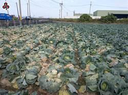 高麗菜種植598萬株亮超種紅燈 農委會籲農民錯開種植