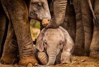 老友過世大象集體悲傷數個月 憂撐不住用大麻幫紓壓