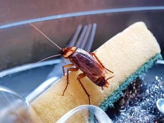 不想打蟑螂用鍋蓋罩欲「餓死牠」 20天後屋主崩潰