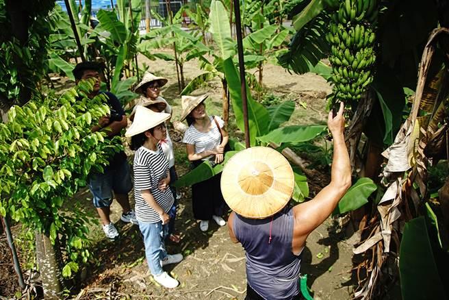戴上斗笠走進香蕉園,認識香蕉的一生和旗山的故事。(圖/曾信耀攝)