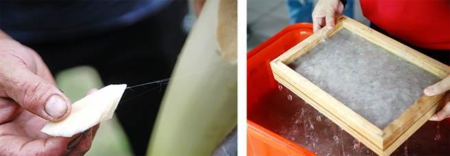 剝下香蕉假莖纖維,粗的部分可以編繩、織布,軸心部分細如髮絲,適合造紙,延長農作廢棄物的生命,也是對環境的愛護。(圖/曾信耀攝)