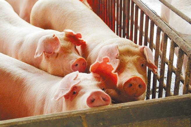 嘉義縣肉品市場15日毛豬拍賣價每公斤71元,比本月初76元下降5元。(嘉義縣政府提供/張毓翎嘉義傳真)