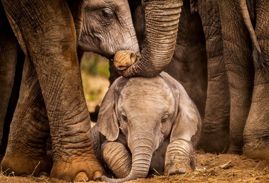 象群中的長者過世後,所有大象都悲傷不已(示意圖/達志影像)