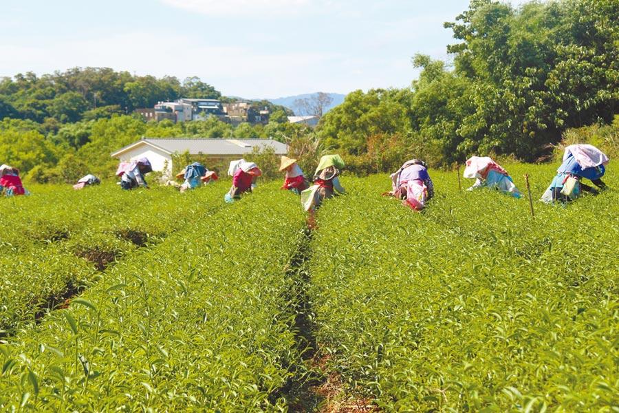 苗栗縣政府配合中央茶產業發展相關政策,加碼補助茶新植農民每公頃2萬元、補助2年,協助茶產業復甦、青農或茶農二代返鄉從事茶產業。(何冠嫻攝)