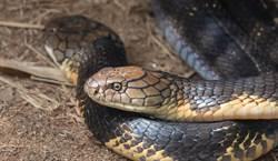 3米6眼鏡王蛇被8浪貓圍攻 打不過嚇跑躲進水溝