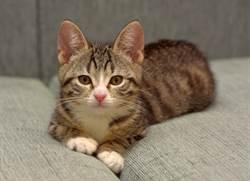 小奶貓跳下沙發被「騰空撈回原地」 呆看地板懷疑貓生