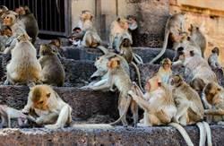 潑猴搶食被吼超不滿 「揪10同伴報復」痛毆男到住院